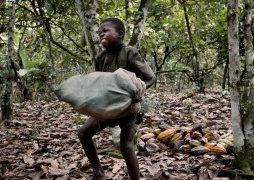 A child labors in the cocoa fields (photo courtesy of ethical living).